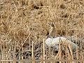 Water Pipit (Anthus spinoletta) (33480030883).jpg