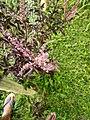 Wayanadan-random-flowers IMG 20180524 152846 HDR (41654392134).jpg