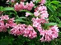 Weigela hortensis 11.JPG