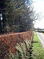 Well trimmed hedge - geograph.org.uk - 350646.jpg