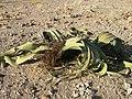 Welwitschia mirabilis S&J1.jpg