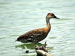 West Indian Whistling Duck (4797632835).jpg