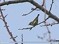 Western Crowned Warbler (Phylloscopus occipitalis) (24829412513).jpg