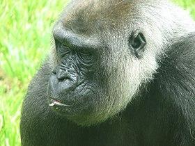 Western Lowland Gorilla 004.jpg