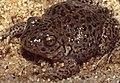 Western Spadefoot Toad (Pelobates cultripes) juvenile ... (43112990950).jpg