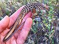 Western whiptail (Aspidoscelis tigris).jpg