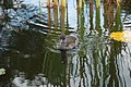 Westfalenpark-100818-17061-Gallinula-chloro.jpg
