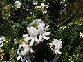 Westringia fruticosa 02.jpg