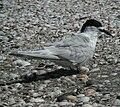 White-fronted Tern miranda05.JPG