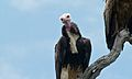White-headed Vulture (Trigonoceps occipitalis) (6001461757).jpg