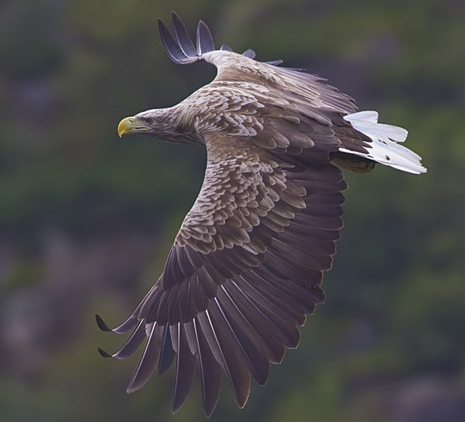 File:White-tailed-eagle.jpg