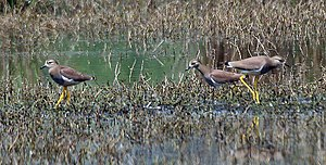 White-tailed lapwing - Image: White tailed Lapwing (Vanellus leucurus) at Sultanpur I Picture 217