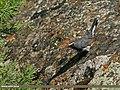 White-tailed Rubythroat (Luscinia pectoralis) (23397747286).jpg