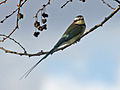 White-throated Bee-eater RWD.jpg