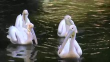 ملف:White Pelican Lake at Alex zoo by Hatem Moushir 1.webm