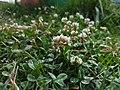White clover1.jpg
