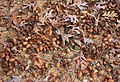 White oak Quercus alba prolific acorns.jpg