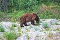 Whitehorse to Kitwanga via Stewart Cassiar hwy - brown black bear (16014696347).jpg