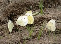 Whites gathering on a spot of moist ground in drought (30314052928).jpg