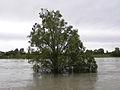 Wien - Hochwasser Juni 2013 - Baum im Wasser.jpg