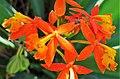 Wild Orchids. Reed-stemmed Epidendrum . Epidendrum radicans - Flickr - gailhampshire (2).jpg