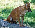 Wild dog (14496291530).jpg