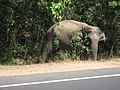 Wild elephant by the road (7568416062).jpg
