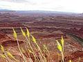 Wildflowers Dead Horse Point State Park Utah USA.JPG