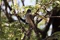 Willow Flycatcher San Pedro House Sierra Vista AZ 2017-05-18 06-56-24 (34376996710).jpg
