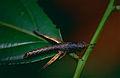 Wingless Grasshopper (Id ?) (10478539534).jpg
