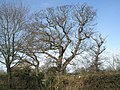 Winter trees in Pook Lane - geograph.org.uk - 677562.jpg