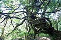 Wisteria sinensis kz2.jpg