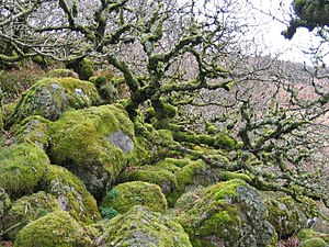 Quercus robur - Ancient pedunculate oaks at Wistman's Wood in Devon, England