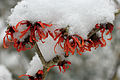 Witch Hazel Covered By Snow In The Garden. Hampshire UK.jpg