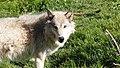Wolf (7540136868).jpg