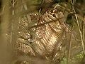 Woodcock (Scolopax rusticola) - geograph.org.uk - 1036177.jpg