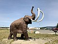Woolly Mammoth, roamed Yukon during the Ice Age (47975872456).jpg