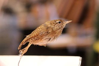 Colin Jerry - The taxidermied wren used for Hunt the Wren by Bock Yuan Fannee