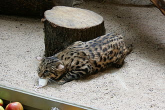 Captive black-footed cat with a mouse Wuppertal - Zoo - Felis nigripes 01 ies.jpg