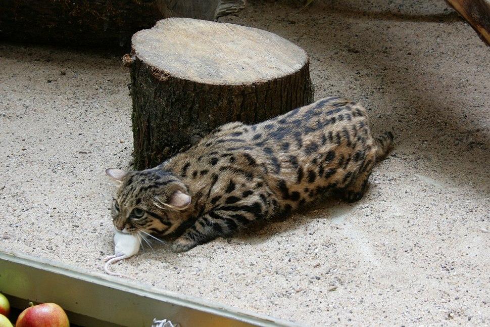 Wuppertal - Zoo - Felis nigripes 01 ies