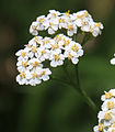 Yarrow Achillea millefolium close.jpg