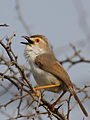 Yellow-eyed Babbler.jpg
