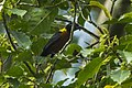 Yellow-mantled Weaver - Kakum - Ghana 14 S4E2382 (16012589227).jpg