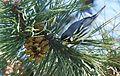 Yellow-throated Warbler (26374416315).jpg