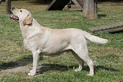 Yellow Labrador Retriever 2.jpg