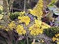 Yellow Scales (Xanthoria parietina) (4509300564).jpg