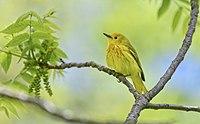 Yellow Warbler Setophaga aestiva f Toronto1.jpg