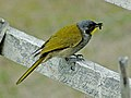 Yellow throated honeyeater with insect.jpg