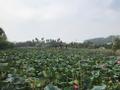Yeonhwamot lotus pond.png