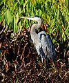 Yep....another Great Blue Heron from Lake Woodruff - Flickr - Andrea Westmoreland.jpg
